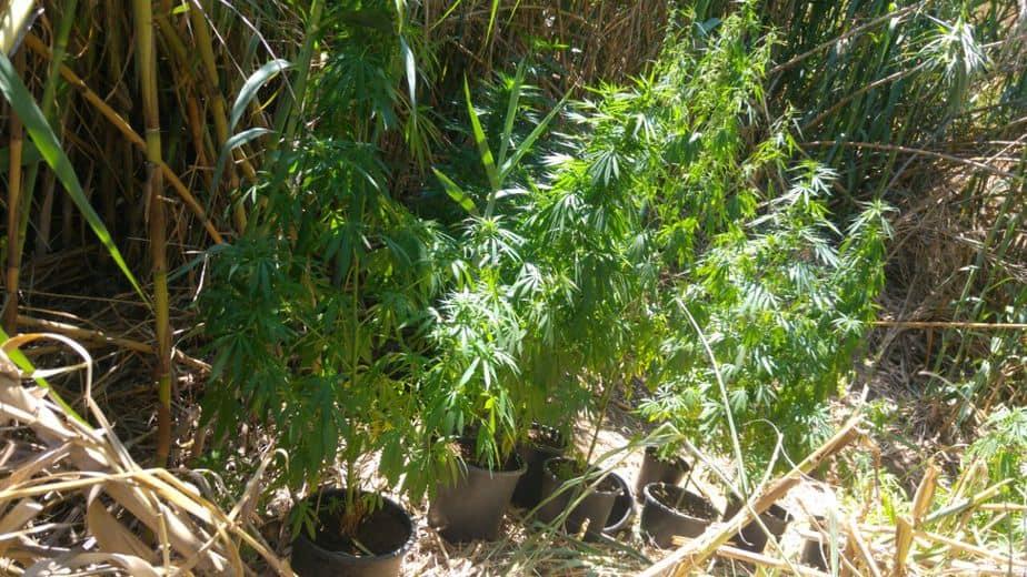 שדה סמים באור יהודה