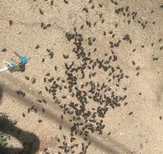 חיפושית רצנית אוליביה