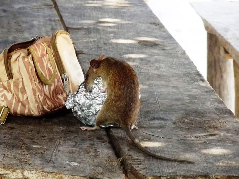 עכברים בבית ספר ביהוד