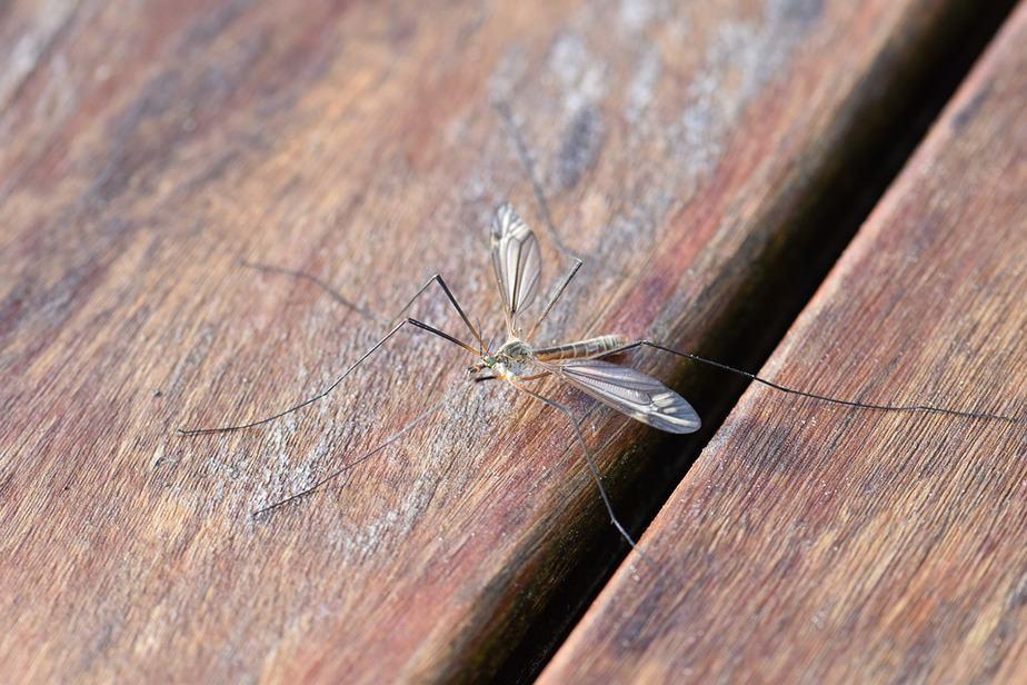 יתוש. אילוסטרציה PIXABAY