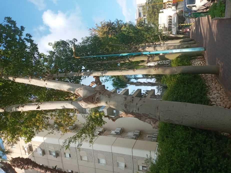 הרמת נוף ודילול לענפים (צילום שאול לוי)