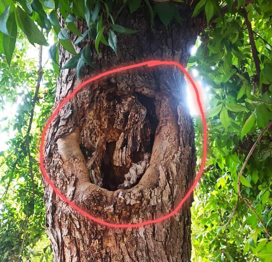ענף שלד שנחתך בצמוד לגזע המרכזי. העץ אינו מסוגל להבריא (צילום שאול לוי)