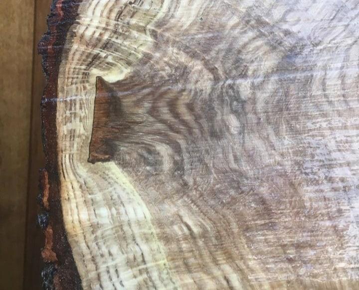 חתך רוחב של גזע ובו ניתן להבחין בתהליך מידור והחלמה מלא של ענף שנגזם כשהוא ביחס נכון לגזע (צילום שאול לוי)