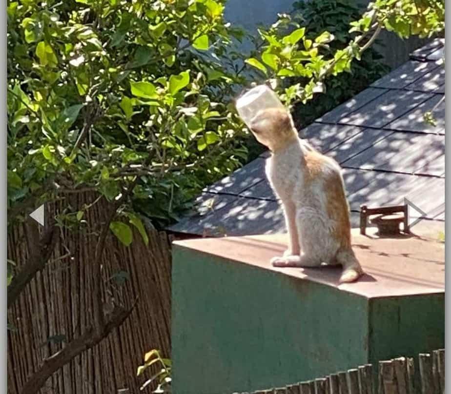 החתול שראשו נלכד בכלי פלסטיק ביהוד מונוסון (צילום דוברות העירייה)