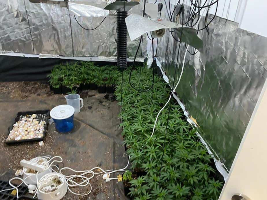 שתילי הקנאביס שנמצאו במעבדה. צילום: דוברות המשטרה